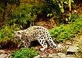 Baby Snow Leopard (263733407).jpeg