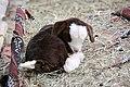 Baby goat (5206598925).jpg