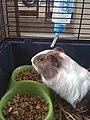 Baby guinea pig eating food.jpg