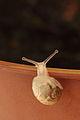 Baby snail 05.JPG