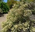 Baccharis articulata 1.jpg