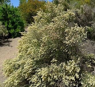 Baccharis - Flowering Baccharis articulata