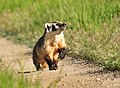Badger on Seedskadee National Wildlife Refuge (27528082215).jpg