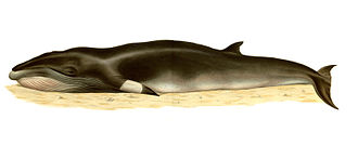 Common minke whale - Lithography by Bocourt