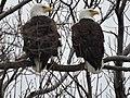 Bald eagles at Eastern Neck National Wildlife Refuge (34252292812).jpg