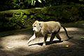 Bali 054 - Ubud - Balinese Macaque monkey.jpg