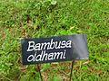 Bambusa oldhami board.JPG