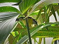Bananaquit. Coereba flaveola - Flickr - gailhampshire.jpg
