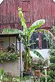 Bananen-Pflanze im Garten (21484888355).jpg