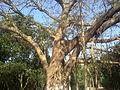 Banyan (Ficus benghalensis)Tree.jpg