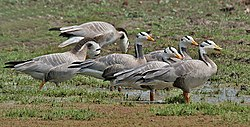 Bar-headed Geese (Anser indicus) at Bharatpur I IMG 5637.jpg