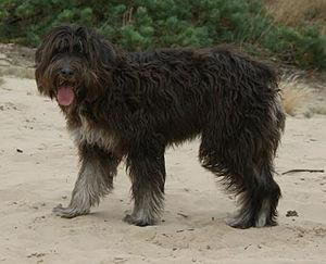 Barbado da Terceira - Female dog