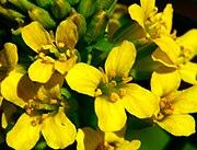 Barbarea vulgaris ENBLA05