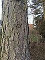 Bark of the European Larch (Larix decidua), Weimar, Germany, March 24th 2018 03.jpg