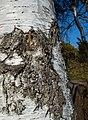 Bark on birch in Norrkila.jpg