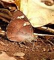 Baronet Euthalia nais UN by Dr. Raju Kasambe DSCN9440 (5).jpg