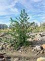 Bassia scoparia subsp. densiflora sl40.jpg