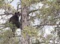 Bear 1 tree 168.jpg