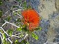 Beaufortia aestiva (red form).JPG
