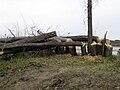 Beaver-cut-Trees.jpg