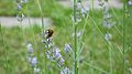 Bee on a lavender flower.JPG