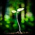 Beech seedling.jpg