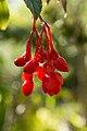 Begonia fuchsioides - Botanischer Garten Dresden (3).jpg