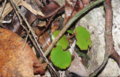 Begonia hughesii02.png