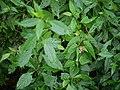 Begonia malabarica Lam. (31079237975).jpg