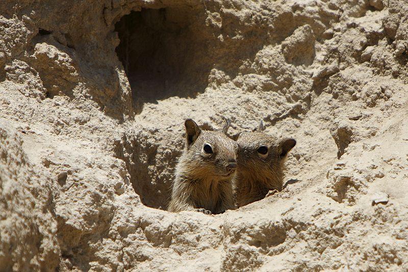 File:Belding's ground squirrel pups.jpg
