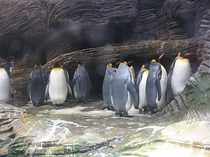 Antwerp Zoo - The king penguins are housed in a refrigerated compartment.