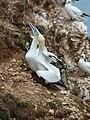 Bempton Cliffs Gannets 2.jpg