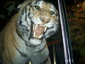 Bengal~Tiger(Panthera tigris tigris) 2~11-29-08
