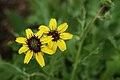 Berlandiera lyrata, Missouri Botanical Garden 2.jpg