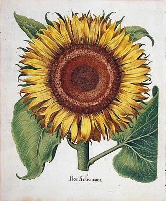 Hortus Eystettensis - Sunflower from Hortus Eystettensis