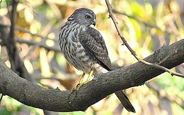 Besra Sparrowhawk.jpg