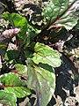 Beta vulgaris var conditiva Різновидність буряка столового із забарвленими черешками і зеленими пластинками листків.jpg