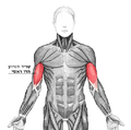 Biceps brachii he.png