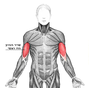 Biceps brachii he