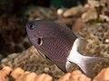 Bicolor chromis (Chromis margaritifer) (41949800630).jpg