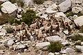 Bighorn sheep (27013357281).jpg