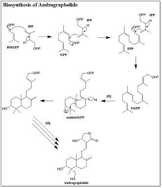 Andrographolide - Biosynthesis of andrographolide
