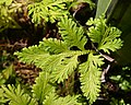 Bird's-nest Fern Asplenium nidus Leaves 2.jpg