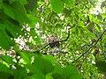 Bird White throated Brown Hornbill Anorrhinus austeni IMG 8142 16.jpg