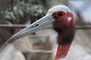 Sarus crane - View of the head