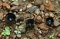 Birdnest fungus (black color) from Anaimalai hills JEG7955 a.jpg