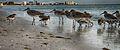 Birds on Fort Myers beach.jpg