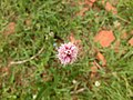 Bistorta officinalis close-up 001.jpg