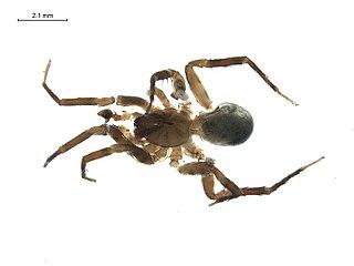 <i>Blabomma</i> Genus of spiders