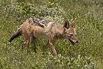 Black-backed jackal (Canis mesomelas mesomelas).jpg
